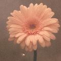 花は咲く<通常盤>